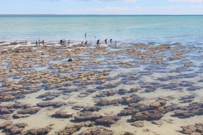 Estromatòlits Shark Bay