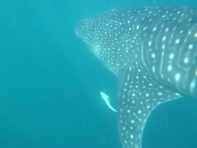 Whale Shark Ningaloo Coast